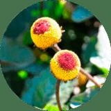 Acmella Oleracea Extract