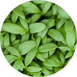 Delentigo (Lepidium Sativum Sprout Extract)