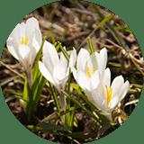 Dermcom (Crocus Chrysanthus Bulb Extract)