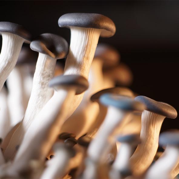 เห็ดนางรมดอย (Blue Oyster Mushroom)