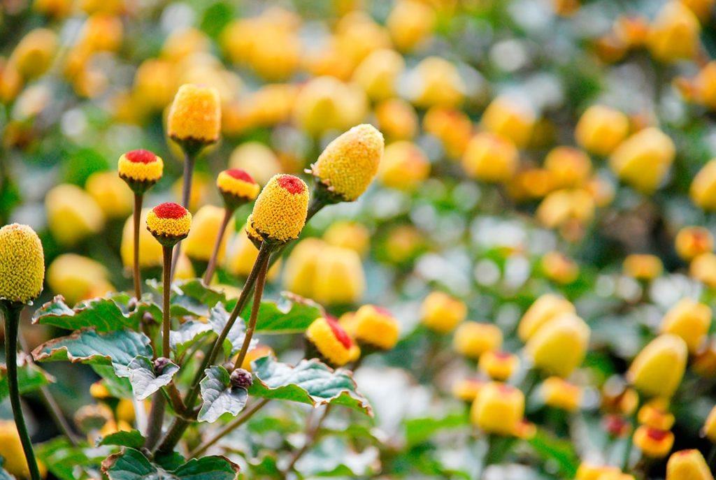 Acmella Oleracea Extract เป็นสารสกัดที่ได้จากส่วนบนของพืช Acmella Oleracea