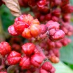 Evodia Rutaecarpa Fruit สารสกัดที่ได้จากสมุนไพร