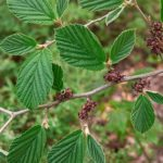 Hamamelis Virginiana Leaf Extract