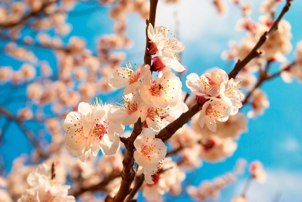 Japanese Apricot Flower Extract สารสกัดจากดอกบ๊วยญี่ปุ่น