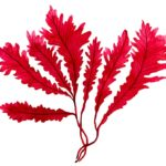 สารสกัดเครื่องสำอาง Kappaphycus Alvarezii Extract สารสกัดจากสาหร่ายสีแดง