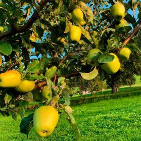 Phytocelltec Malus Domestica สเต็มเซลล์ของแอปเปิ้ลสายพันธุ์ Switzerland