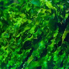 Seamollient เป็นสารสกัดจากสาหร่ายทะเลน้ำลึกที่อุดมไปด้วยสารอาหารต่างๆ