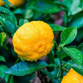 Yuzu Extract Citrus Junos Fruit Extract สารสกัดจากเมล็ดส้มยูสุที่ปลูกบนเกาะชิโกกุ